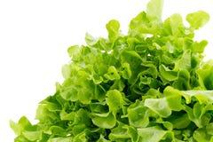 Grüner Eichenblattkopfsalat lokalisiert auf weißem Hintergrund Lizenzfreies Stockbild