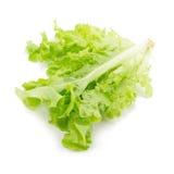 Grüner Eichenblattkopfsalat lokalisiert auf weißem Hintergrund Lizenzfreie Stockbilder