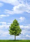 Grüner einsamer Baum auf Hintergrund des blauen Himmels Stockfoto