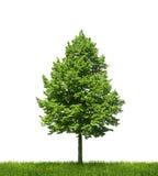 Grüner einsamer Baum auf weißem Hintergrund Stockfotografie