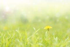Grüner empfindlicher Hintergrund mit Gras und Löwenzahn Stockfoto