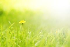 Grüner empfindlicher Hintergrund mit Gras und Löwenzahn Stockbild