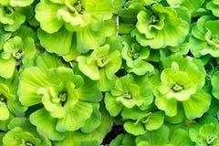 Grüner Entengrützenwasserpflanzehintergrund stockbilder