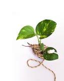 Grüner-für immer Baum mit dem Seil Lizenzfreies Stockfoto