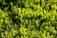 Grüner Farn lizenzfreies stockfoto
