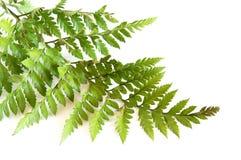 Grüner Farn Stockbilder