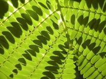 Grüner Farn Stockfotografie