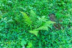 Grüner Farn Stockbild