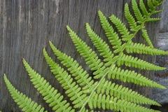 Grüner Farn auf altem verwittertem hölzernem Hintergrund stockbilder