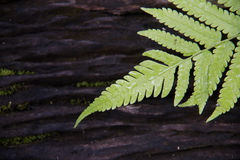 Grüner Farn auf schwarzem Holz lizenzfreie stockfotos