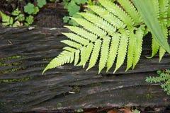 Grüner Farn auf schwarzem Holz lizenzfreies stockfoto