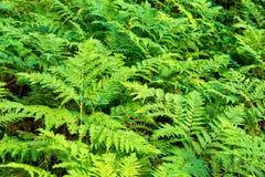 Grüner Farn der Dickichte Lizenzfreies Stockbild