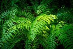 Grüner Farn im Wald Stockbild