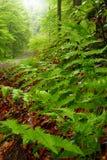 Grüner Farn lässt Nahaufnahme im Wald am regnerischen Tag Stockfotografie