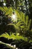 Grüner Farn und Sonne Stockfoto