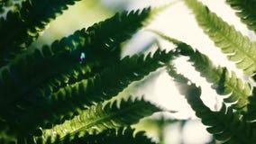 Grüner Farn verlässt an einem sonnigen Tag stock video footage
