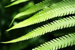 Grüner Farn verlässt im Frühjahr an einem sonnigen Tag Stockfotografie