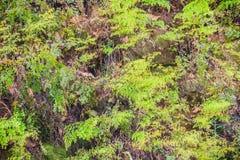 Grüner Farnbaum auf dem moosigen Stein im Waldfarn und Moos auf s Lizenzfreie Stockfotografie