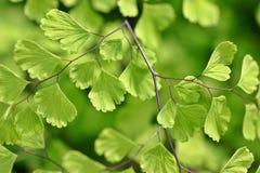 Grüner feenhafter Farn Stockbild