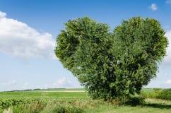Grüner Feld- und Herzbaum Stockfotografie