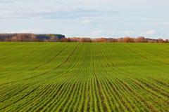 Grüner Feldhintergrund der Winterkorngetreide Lizenzfreies Stockfoto