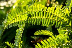 Grüner Fern Leaves im Sonnenschein lizenzfreie stockfotos
