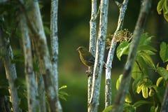 Grüner Fink gehockt auf silbernen Birkenzweigen Lizenzfreie Stockbilder