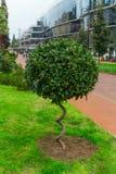 grüner flaumiger Busch mit Spiralenstamm in einem Park, Landschaftskonzept des Entwurfes lizenzfreie stockfotografie