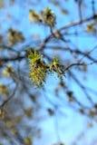 Grüner Frühling knospt Esche Lizenzfreie Stockbilder