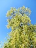 Grüner Frühlings-Baum Lizenzfreie Stockfotos