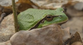 Grüner Frühlingsfrosch Lizenzfreies Stockbild