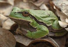 Grüner Frühlingsfrosch Stockbild