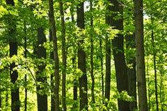 Grüner Frühlingswald lizenzfreie stockfotos