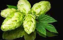 Grüner frischer Blütenzapfen des Hopfens auf dunklem Hintergrund für Bier Lizenzfreie Stockfotos