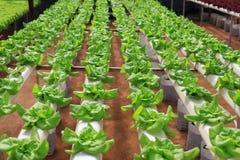 Grüner frischer Kohl, der im Gewächshaus wächst Stockfotos