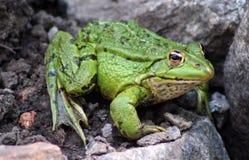 Grüner Frosch Stockfotografie