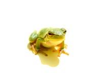 Grüner Frosch lizenzfreie stockfotografie