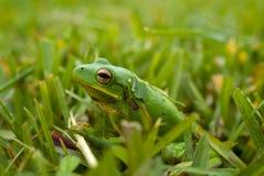 Grüner Frosch Lizenzfreies Stockfoto