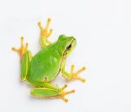 Grüner Frosch Lizenzfreies Stockbild