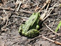 Grüner Frosch Stockfotos