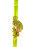 Grüner Frosch auf Bambus Stockbilder