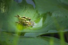 Grüner Frosch auf dem Blatt lizenzfreies stockbild