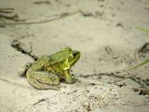 Grüner Frosch auf dem Sand Stockbilder