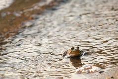 Grüner Frosch auf dem Ufer Lizenzfreies Stockfoto