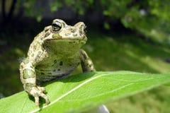 Grüner Frosch auf einem Blatt im Sonnenschein Stockfotos