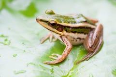 Grüner Frosch auf einem Lotosblatt Stockfotografie