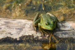 Grüner Frosch auf einem Protokoll Stockfotografie