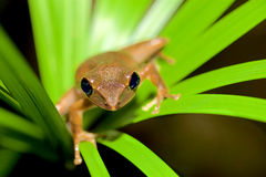 Grüner Frosch auf grünem Blatt Lizenzfreie Stockfotos