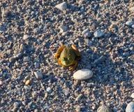 Grüner Frosch auf Grey Gravel lizenzfreie stockfotos