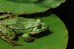 Grüner Frosch auf Lilie lizenzfreie stockbilder